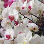 Hennis_Orchideen_162