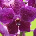 Hennis_Orchideen_163