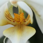 Hennis_Orchideen_172