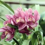Hennis_Orchideen_279