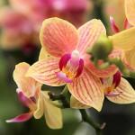 Hennis_Orchideen_58