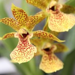 Hennis_Orchideen_83